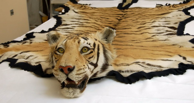 0_1528251629160_tiger-rug-with-head-for-sale-640x342.jpg